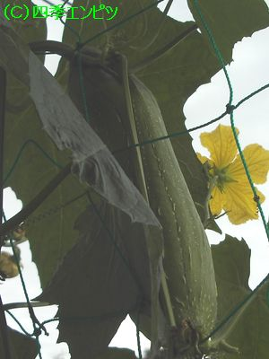 ヘチマ収穫直前