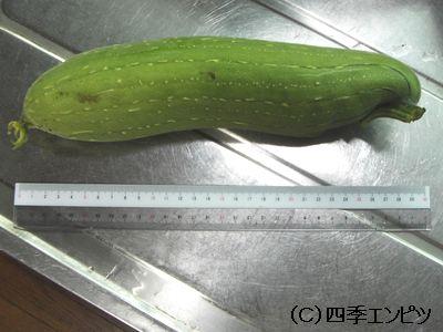 ヘチマ 収穫第一号 28センチ