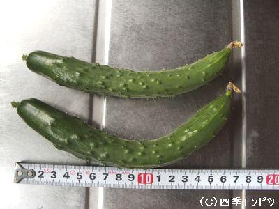 キュウリ 8月9日 初収穫