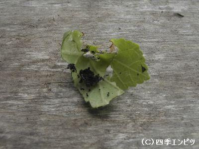 オクラ ワタノメイガ被害の葉