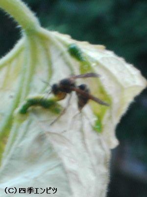 キュウリ 害虫 蜂