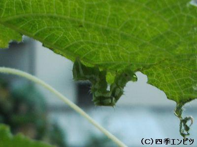 キュウリ 害虫