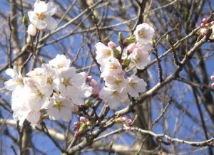 今日の選挙で桜が咲くのは?