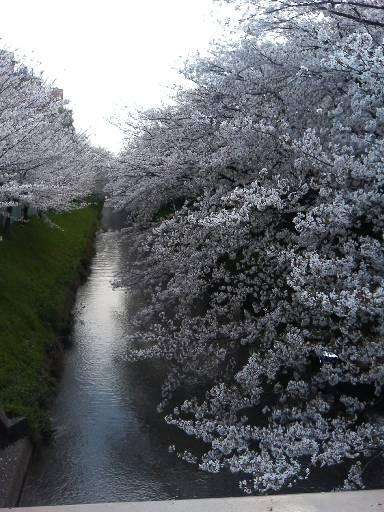 cherry_horiakawa070405.jpg