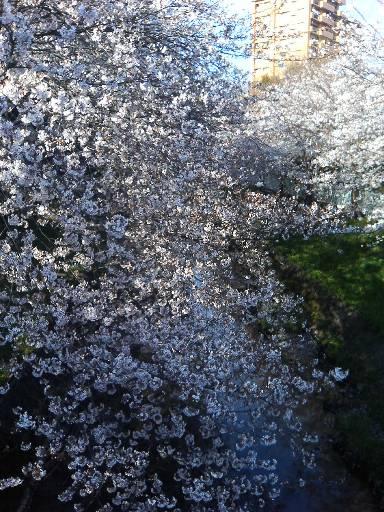 cherry_yamazaki070405.jpg
