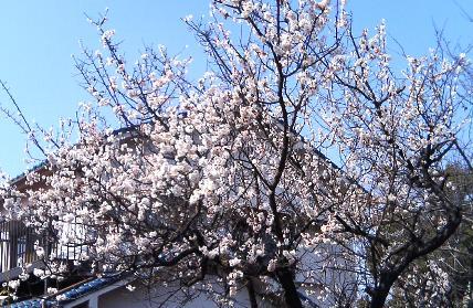 sakura_kinjo070304.jpg