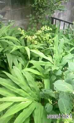 090711ミョウガの葉