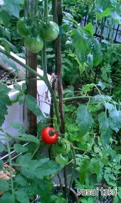 090725ミニトマト(収穫前)