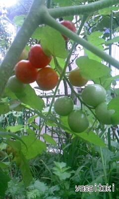 090812ミニトマト