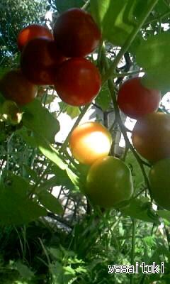 090815ミニトマト