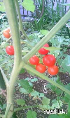 090818ミニトマト
