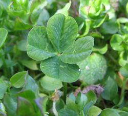 250px-Four-leaf_clover.jpg