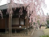 しだれ桜 1