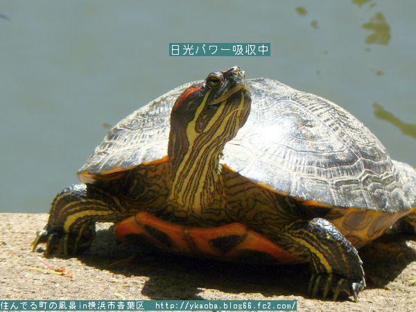 200904akamimikame3.jpg