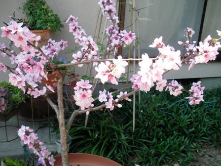 桃 八分咲き