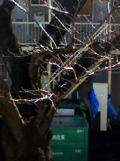 家の前の桜の樹