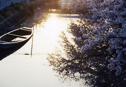 朝の陽と桜