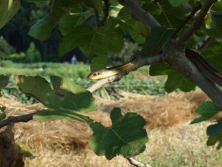木登りヘビ