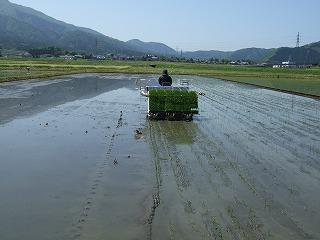 田植え(まっすぐに植える)