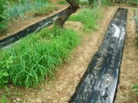 秋野菜畝たてH200905