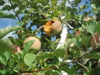 リンゴ鳥害H200922