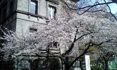 桜(淀屋橋にて)