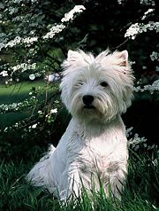 180px-West_Highland_White_Terrier-2.jpg