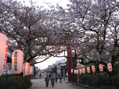 鎌倉・段葛のサクラ