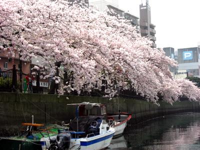 横浜・大岡川のお花見船