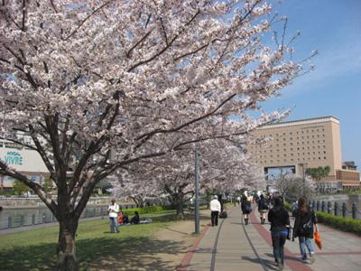 横浜・汽車道のサクラ