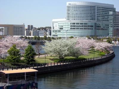 横浜・みなとみらいのサクラ2011