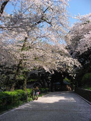 横浜・元町公園のサクラ