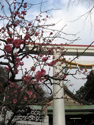 鎌倉・大塔宮の河津桜
