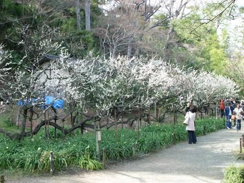 三溪園のウメ 2012