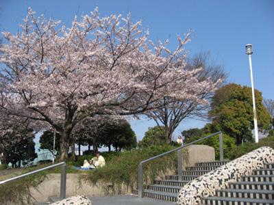 横浜・山下公園のサクラ