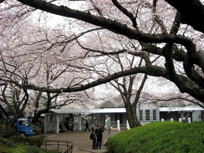 桜の季節の横浜・山手公園