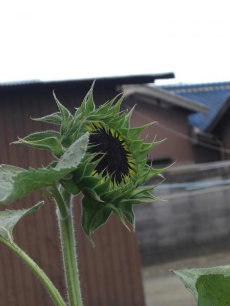 ヒマワリ 咲きかけ