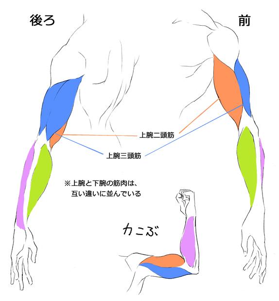 腕の筋肉の構造