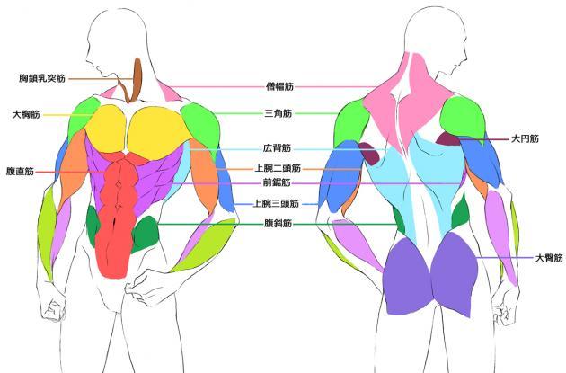 筋肉の配置と名称