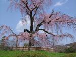 06円山公園 桜