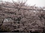 2009-04-04飛鳥山桜、桜餅 003