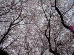 2009-04-04飛鳥山桜、桜餅 005