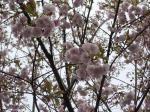 2009-04-04飛鳥山桜、桜餅 007