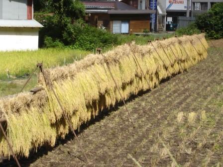 阿須那小稲刈り-04