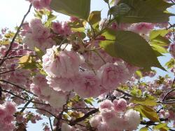 馬事公苑八重桜1