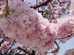 馬事公苑八重桜2