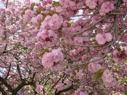 馬事公苑八重桜3