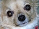 チワワ ペット 犬