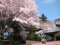 中田神社桜