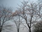 桜 ナスパ